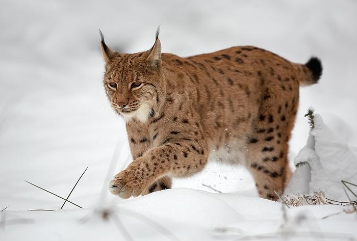 Lynx_lynx_1_(Martin_Mecnarowski).jpg