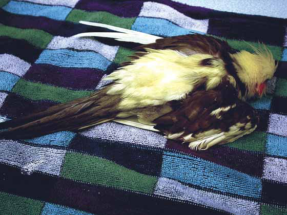 A pied/lutino cockatiel in the later stages of disease