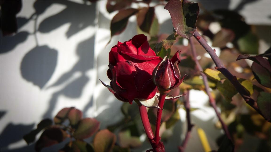 K Roses Fri 2.jpg