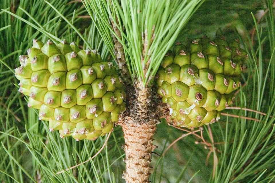 http://www.arbolapp.es/especies/ficha/pinus-pinea/