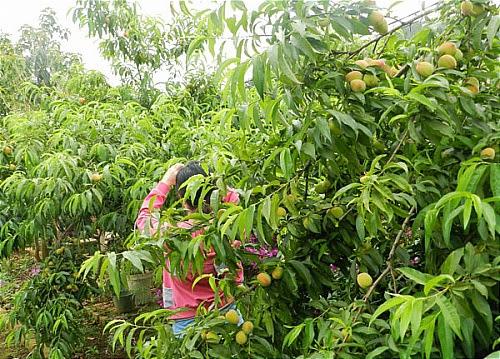 Lên Mộc Châu tham gia ngày hội hái quả