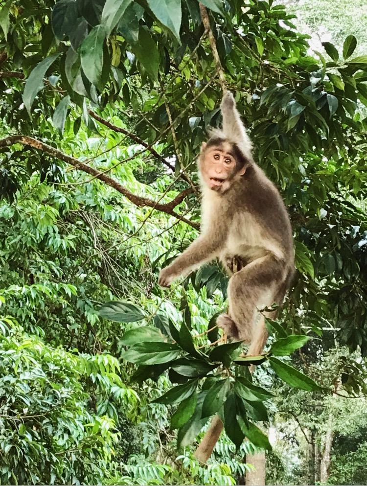 קופים בדרום הודו