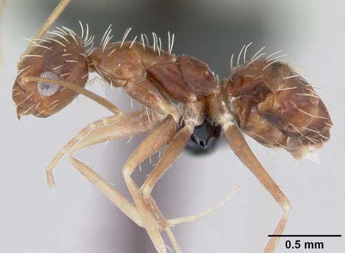 http://entnemdept.ufl.edu/creatures/urban/ants/crazy_ant06.jpg