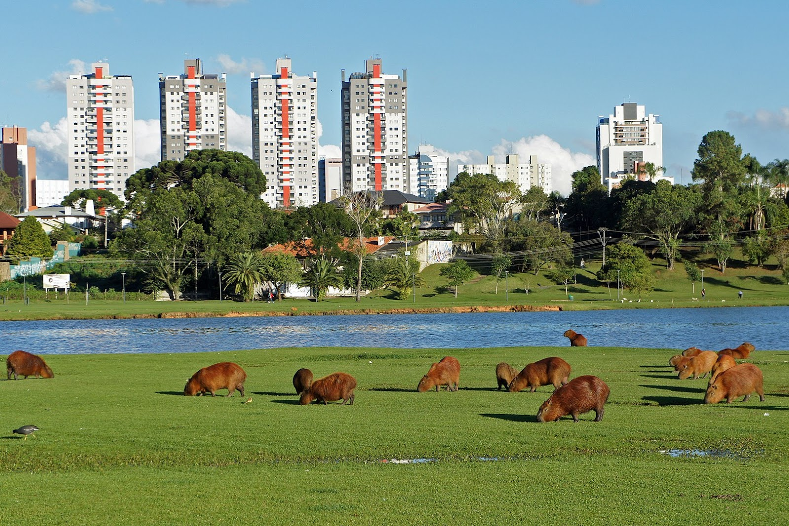 Capivaras no parque Barigui em Curitiba
