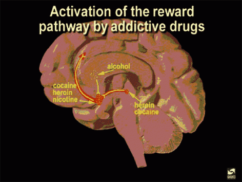 activation of the dopamine reward pathway by addictive drugs ike cocaine heroin and nicotine