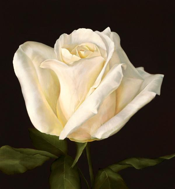 A white rose with a dark background  Description automatically generated with medium confidence