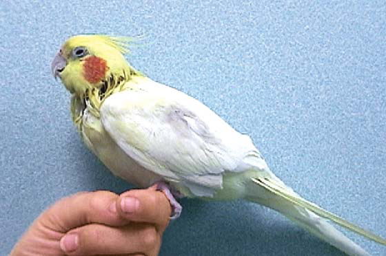 A 20-year-old lutino cockatiel is shown after having the jugular vein wet with alcohol for venipuncture