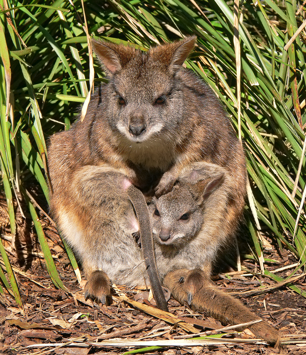 Image result for wallabies at kawau island