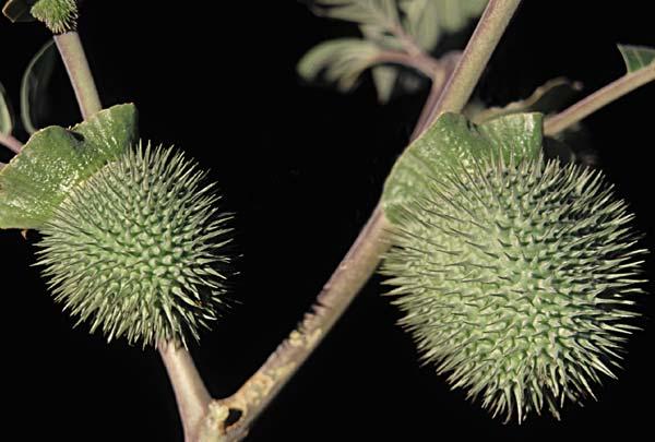 Sacred datura seed capsule