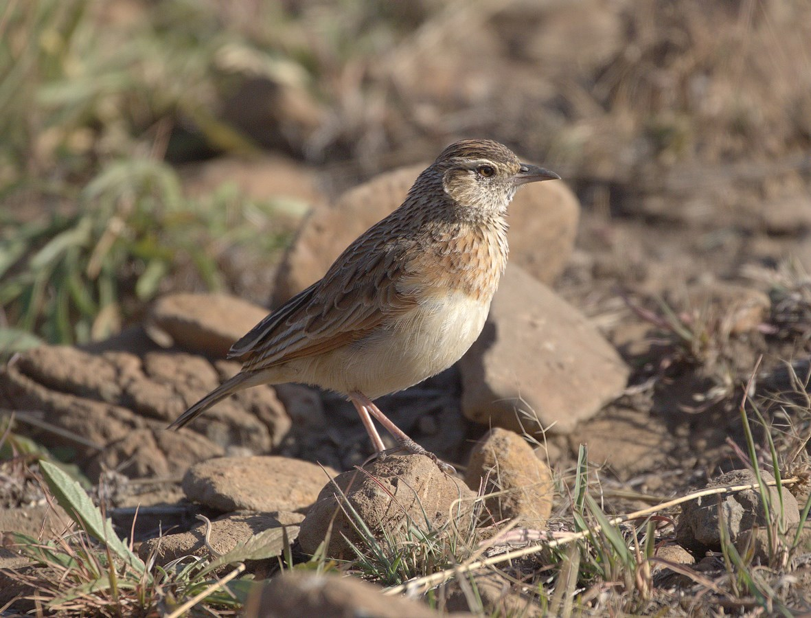 fawn-coloured lark (Copy).jpg