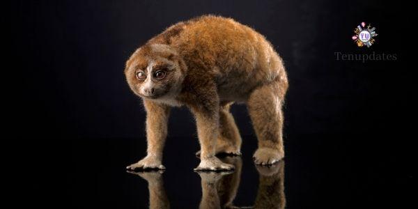 Loris - slowest animals in the world