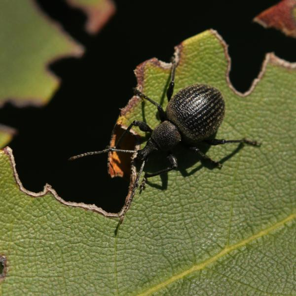 Adult vine weevils and how to kill them