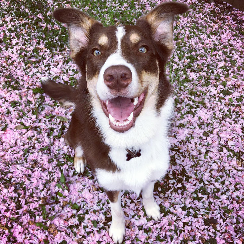 BorrowMyDoggy Border Collie in Spring
