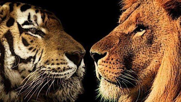 00001 aaB Lion Tiger.jpg