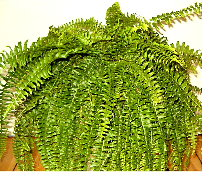 Boston Fern is a tropical that is non-toxic to dogs.