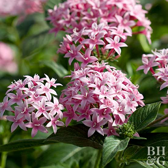 close-up of pink pentas