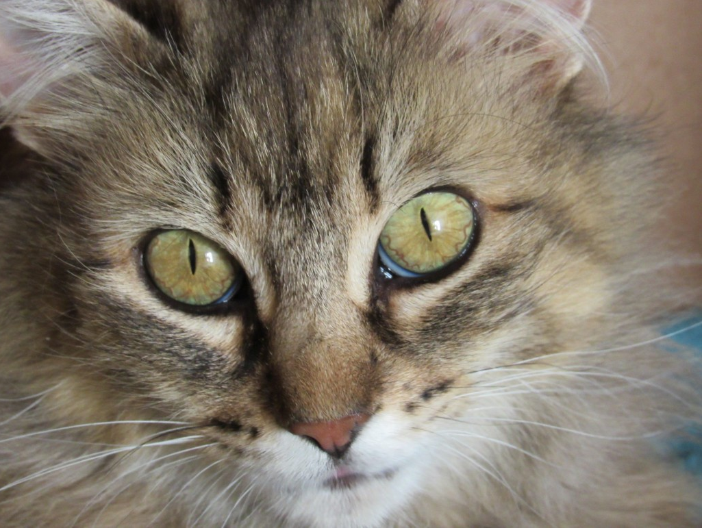 Genie, our cat of the week! Just look at those eyes! This sweetheart is available for a reduced adoption fee.