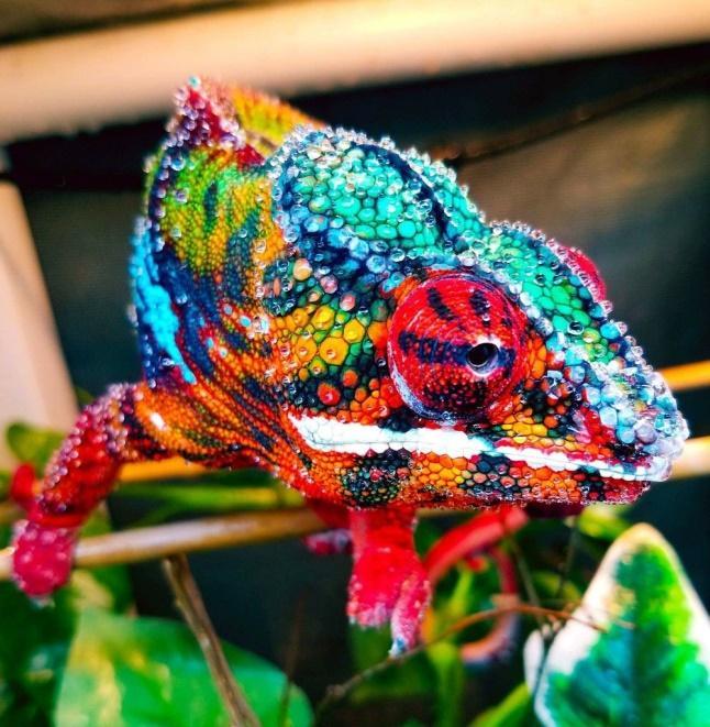 Image result for colorful panther chameleon