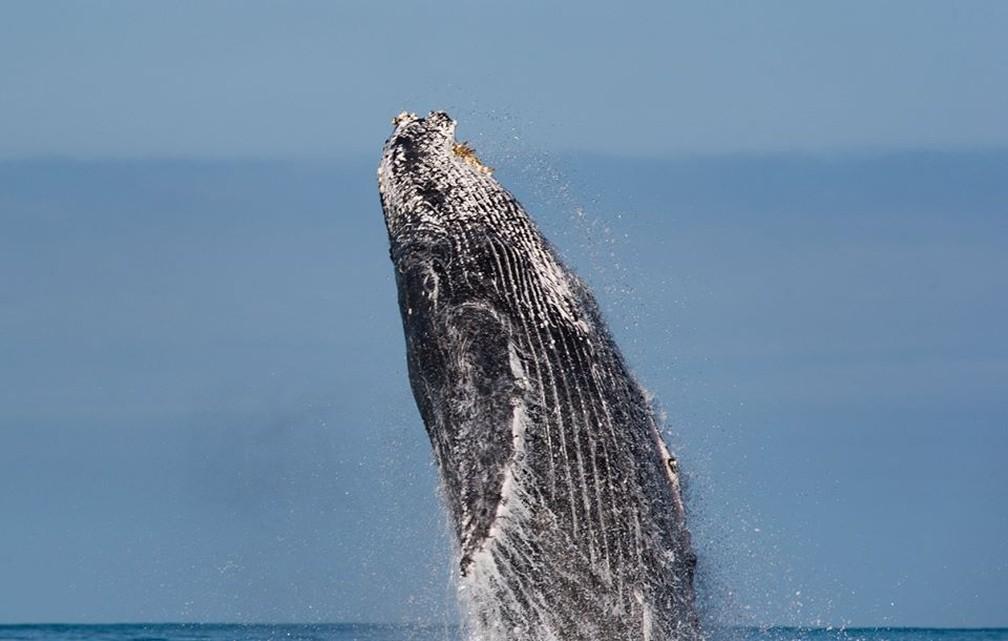 Pesquisadores avistam baleais jubarte em Ilhabela — Foto: Julio Cardoso/Projeto Baleia à Vista