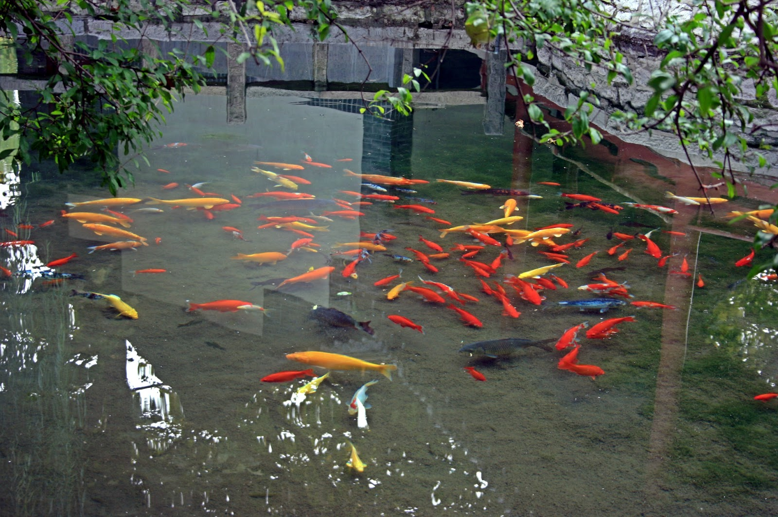 Image result for goldfish pond