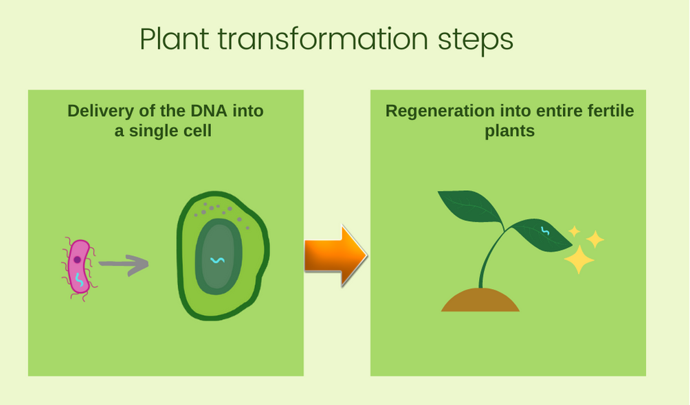 Plant Transformation basic steps - first DNA is delivered into the plant cell. The plant is then regenerated with new genetic information