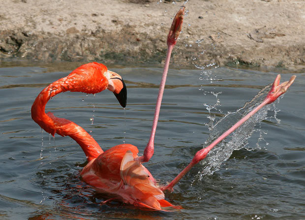 Flamingo, Flagay, Flamengo... Tanto faz.