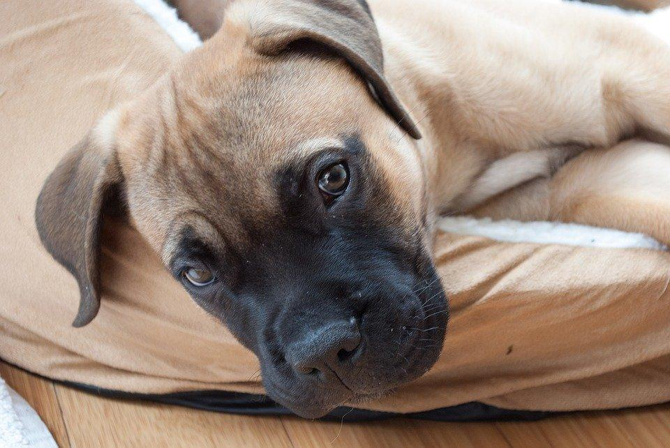 Dog Breeds: Bullmastiff temperament and personality - Dogalize