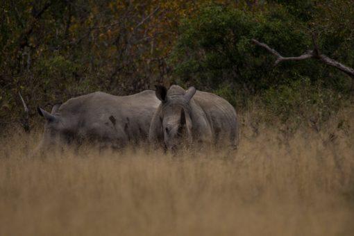 Animais da África do Sul - Dois rinocerontes quase escondidos na vegetação do Kruger National Park.