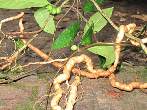 Hình ảnh rễ Ba kích