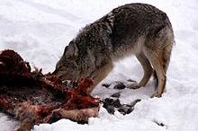 What Do Coyotes Eat? [Diet Menu, Prey List]
