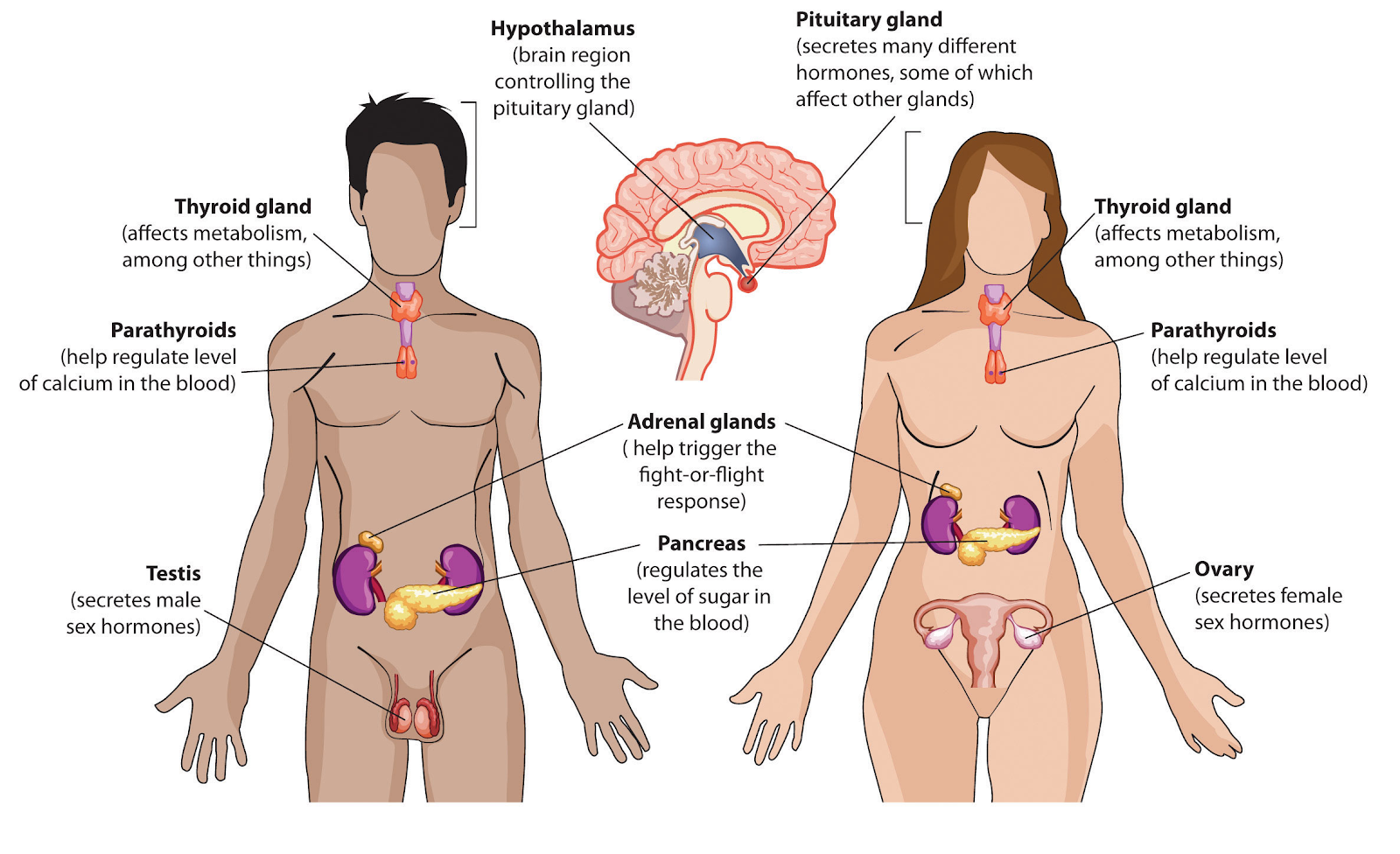 My Human Body Systems The Endocrine System