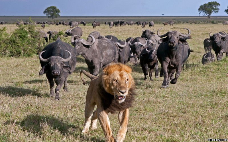 2_CATERS_BUFFALO_CHASE_AWAY_LION_09-800x498.jpg