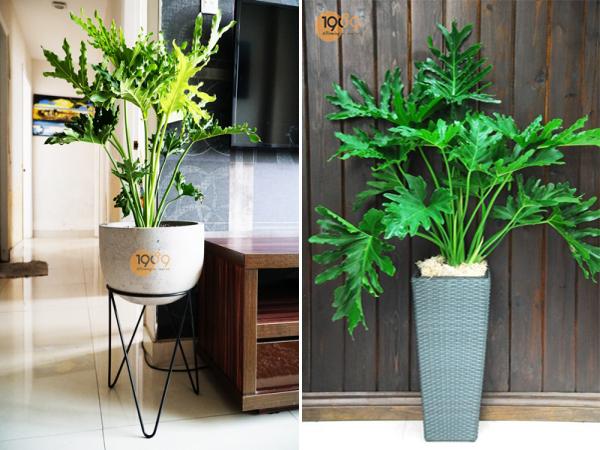Trầu Bà Thanh Xuân - Philodendron bipinnatifidum