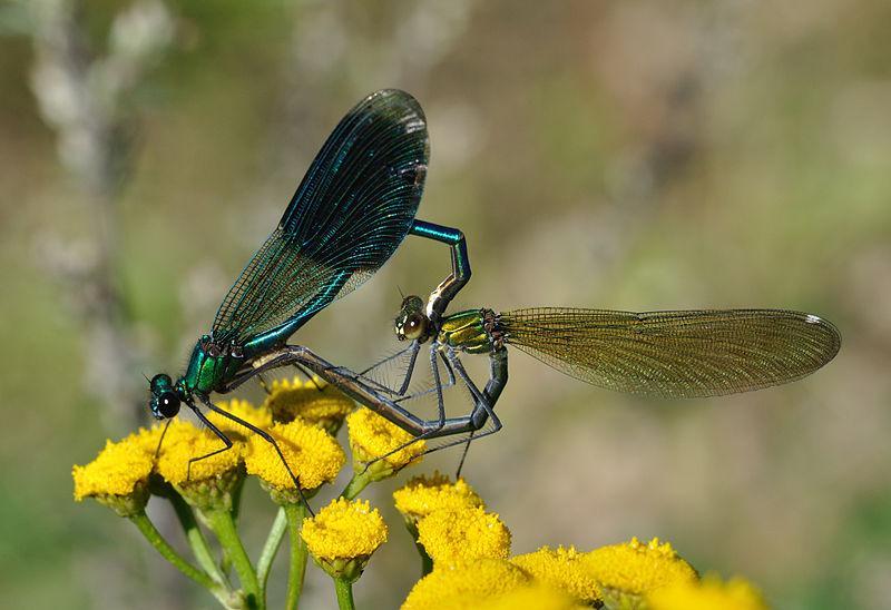 File:Calopteryx splendens qtl7.jpg