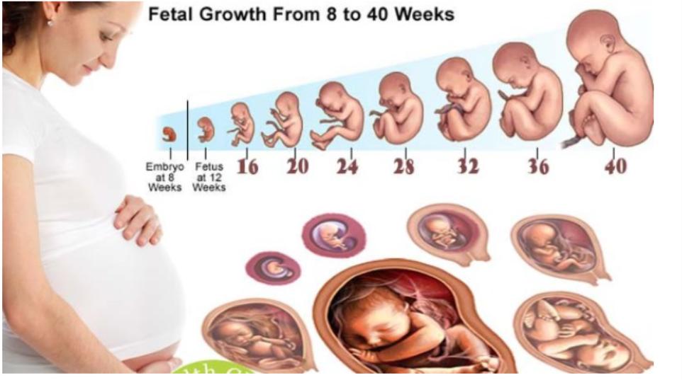 Cách tính chiều dài và trọng lượng của thai nhi
