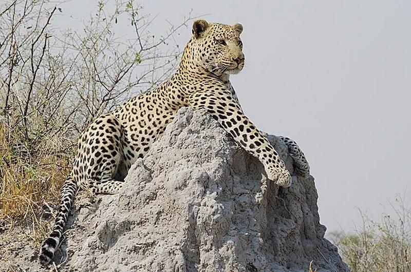 Okavango-leopard-lookout.jpg