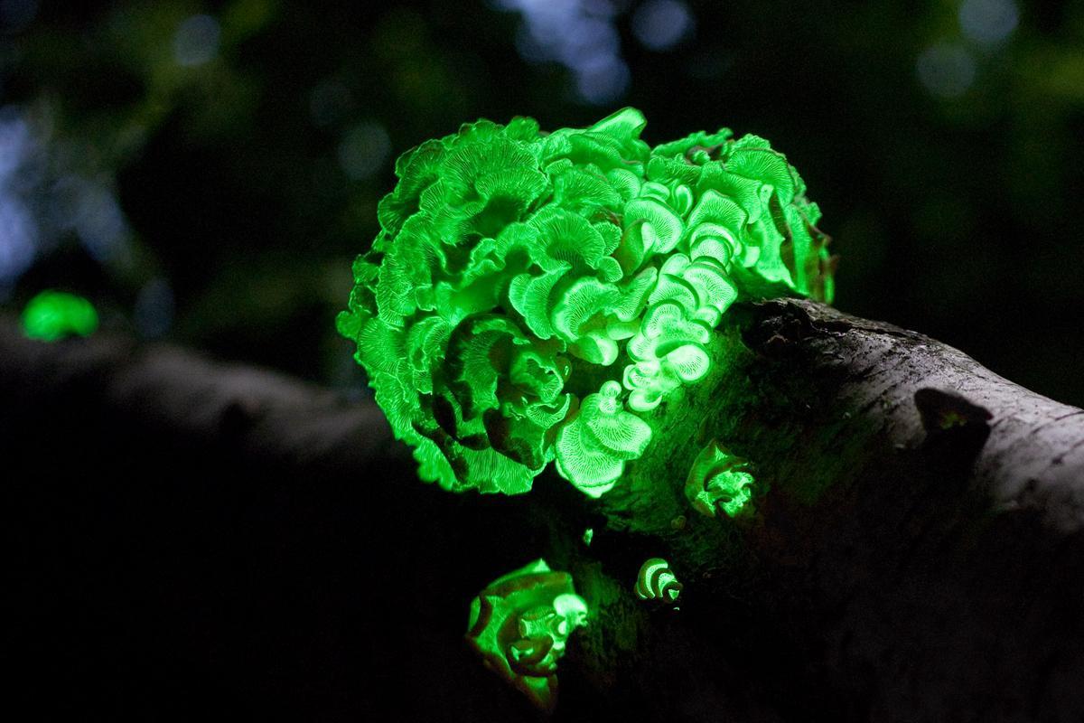 Fungo bioluminescente Panellus stipticus.