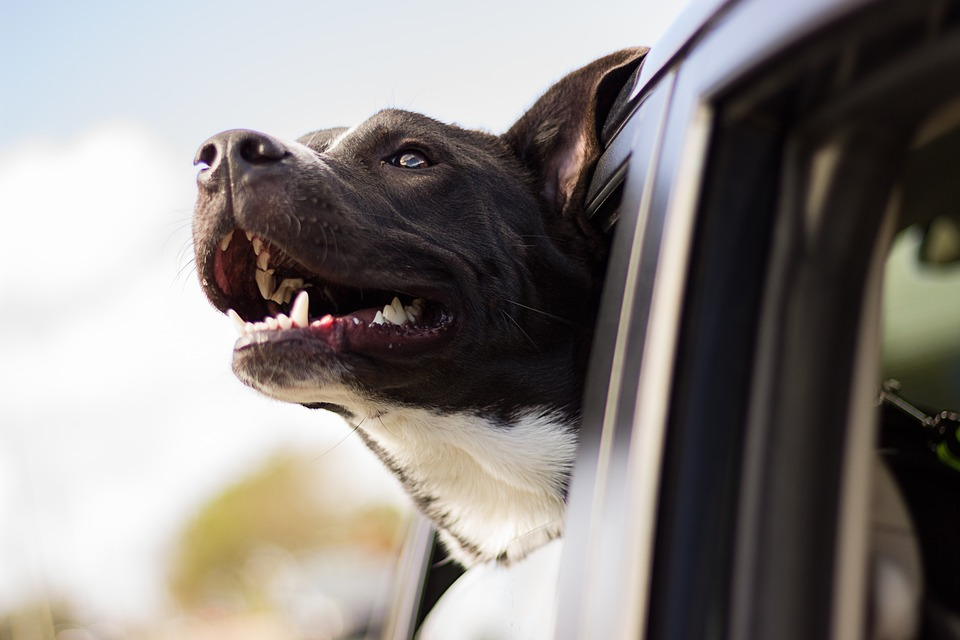 Dog, Happy, Car, Head, Car Window, Happy Dog, Pet