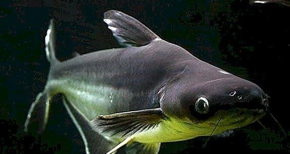 G:\Nova pasta (2)\Peixes\-Panga\Excluir\pangasius-v-akvariume-soderzhanie.jpg