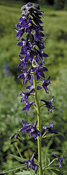 Tall larkspur inflorescence showing flowers with characteristic spur
