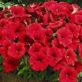 Image result for petunia picobella red