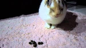 ผลการค้นหารูปภาพสำหรับ กระต่ายกินมูลตัวเอง