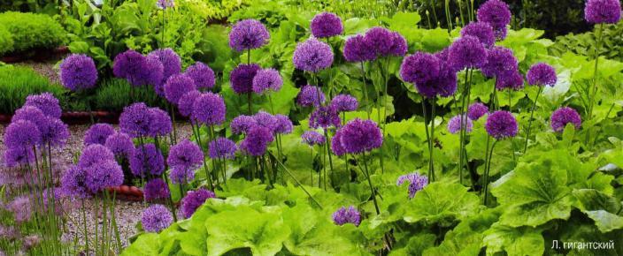 Декоративный лук, декоративный лук выращивание, декоративный лук фото