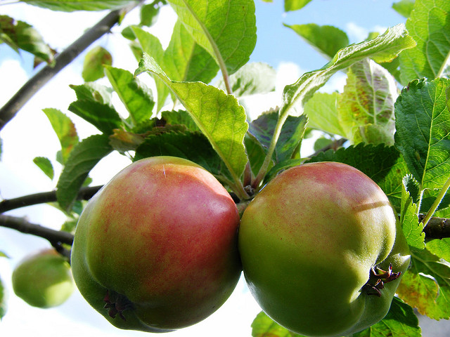 photo of two apples, colored green and red, growing on a tree branch