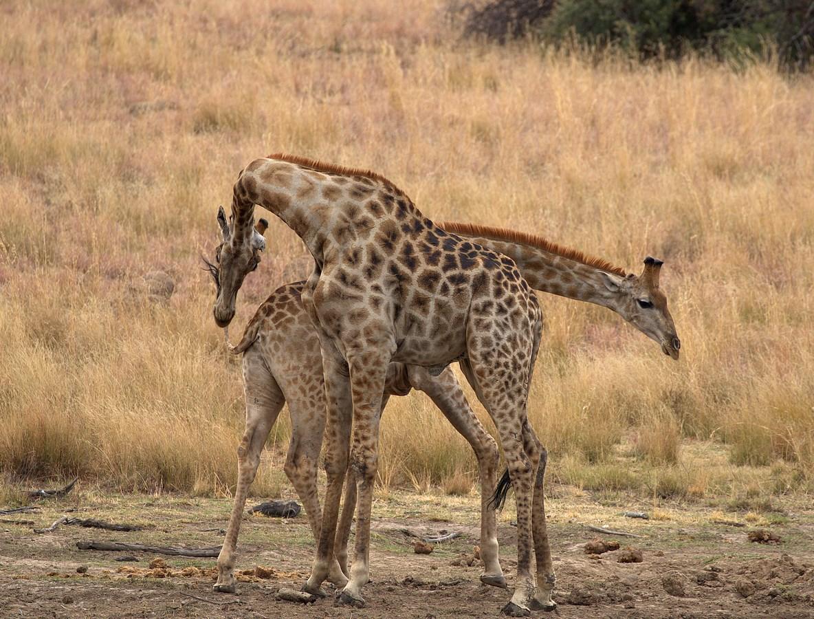 cuddling giraffes 3 (Copy).jpg