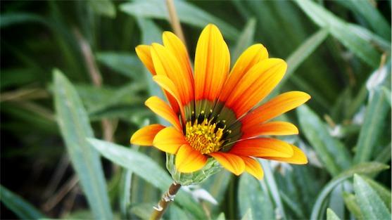 Sort Of Sunflower.jpg