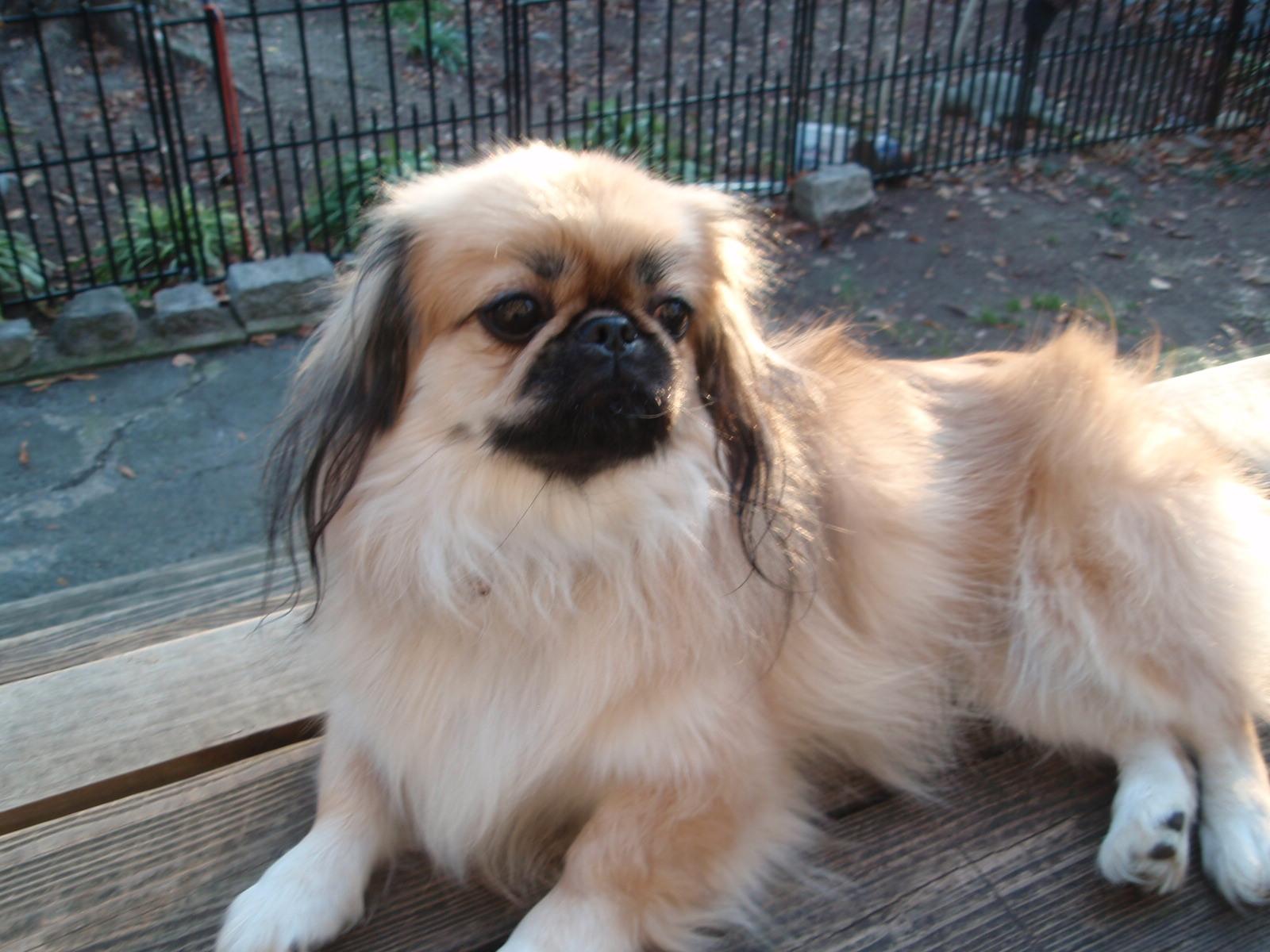 Chó Bắc Kinh rất dễ nuôi