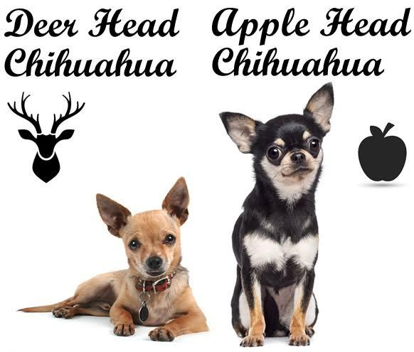 comparison of Deer Head Chihuahua and Apple head chihuahua
