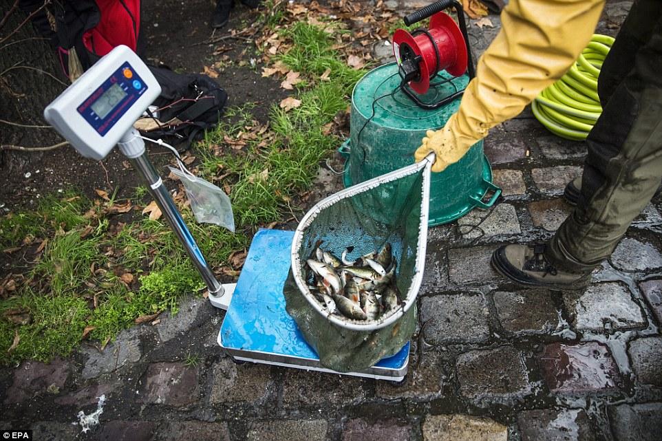 捕捉當天:因為巴黎運河正在排水維護,魚類被捕穫後被清洗並稱重