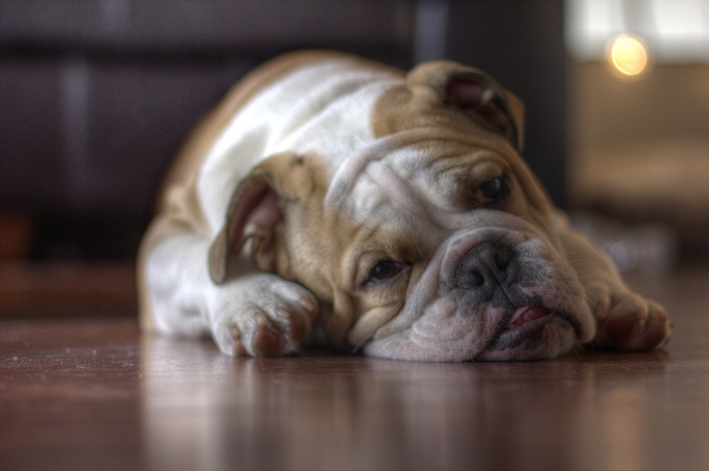 english bulldog lying on wood floor